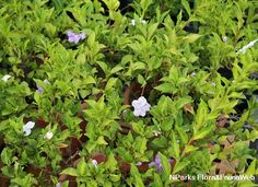 Brunfelsia pauciflora (Cham. & Schltdl.) Benth.-moderate water Sun Plants, Flora And Fauna, Water, Plants Sunny, Gripe Water
