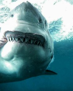 Explore the ocean - ocean life - A picture of a shark, Shark Pictures, Shark Photos, Shark Pics, The Great White, Great White Shark, Orcas, Megalodon, Shark Week, Sea Monsters