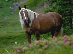 The Noriker horse, also historically known as the Pinzgauer horse, is an autochthonous, moderately heavy Austrian draught horse breed. The origins of the Noriker horse are assumed to be the central Alpine region around the highest mountain of Austria, the Grossglockner.