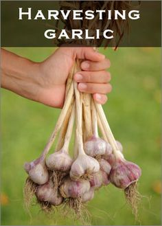 How to grow your own Fresh Bunch of garlic