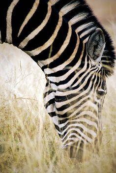 Africa | Zebra.  Kruger National Park.  South Africa | ©Zeepster via flickr