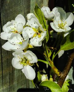 Glorious Spring pear blossom