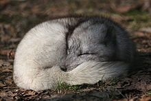 The Arctic Fox is the only indigenous mammal in Iceland and was the only mammal prior to the arrival of humans