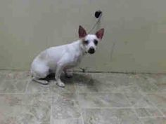 TO BE DESTROYED - 07/05/14 Brooklyn Center -P  My name is BOBBY. My Animal ID # is A1004020. I am a neutered male white and brown chihuahua sh mix. The shelter thinks I am about 1 YEAR 1 MONTH old.  I came in the shelter as a OWNER SUR on 06/21/2014 from NY 11435, owner surrender reason stated was NO TIME.