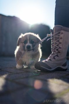 "Aw! When you're too tiny to be on a ""big dog"" walk, you can always use the shoelaces! :D"