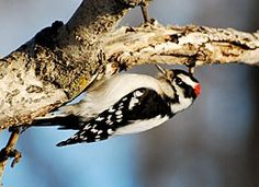 Downy Woodpecker, Identification, All About Birds - Cornell Lab of Ornithology List Of Birds, Kinds Of Birds, Love Birds, Beautiful Birds, Downy Woodpecker, Backyard Birds, Bird Species, Wild Birds, Bird Watching