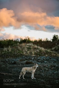 husky by maghood #animals #animal #pet #pets #animales #animallovers #photooftheday #amazing #picoftheday