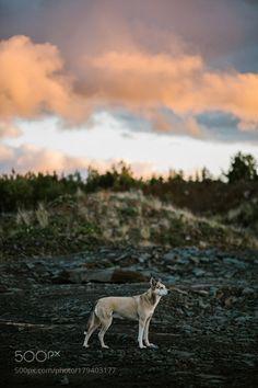 husky by maghood #animals #animal #pet #pets #animales #animallovers #photooftheday #amazing #picoftheday