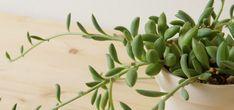 茎が伸び見た目が悪くなったアーモンドネックレスの調節 | ウチデグリーン | UCHI de GREEN Succulents, Green, Plants, Succulent Plants, Flora, Plant