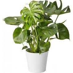 Trendikäs, luonteikas kasvi, joka kasvattaa kauniin liuskamaisia lehtiä. Viihtyy valoisalla paikalla, mutta myös kauempana ikkunasta. Kastellaan, kun multa on lähes kuivunut; noin kerran viikossa. ...