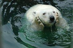Bored polar bear. 洗顔中。潤いリング作らなきゃ。