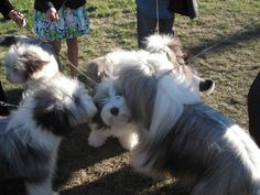 Bearded Collie Puppy - With my siblings