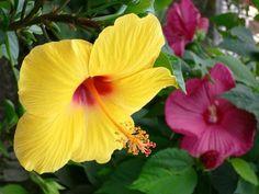 Гибискус, или китайская роза Вот уж поистине величественное растение. Причем в прямом смысле слова. Цветки гибискуса просто великолепны, они могут быть простые или махровые, как у меня. Розовые, бордовые, желтые. Не ядовит и не имеет явного запаха, но высокорослый! В детскую ставить лучше молодое, небольшое растение, так как взрослое достигает высоты 2 м, что подойдет далеко не для любого помещения.