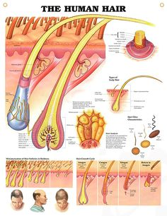 Human Hair anatomy poster shows detailed anatomical view of scalp and hair within the skin extending to the hair shaft.