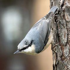 bird nuthatch by Vladimir Mironov, via 500px