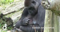 Gorila bebê recebendo carinho da mãe - AC Variedades