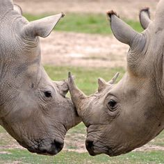 #Rhino #Poaching has reached an alarmingly high rate in #South Africa, with 393 rhinos lost to poachers by the end of April in 2015. 290 of them were poached in #Kruger National Park.  #Wildaid #Africa