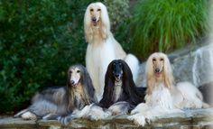Afghan Hound Dog Information # Afghan Hound Dog Dog Breed Info Big Dogs, Large Dogs, Afghan Hound Puppy, Hound Dog Breeds, Dog Breed Info, Photo Animaliere, Dog Information, Pet Life, Dog Grooming