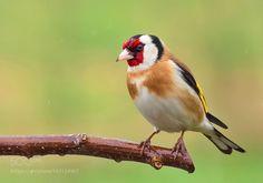 Goldfinch by frank742 #animals #animal #pet #pets #animales #animallovers #photooftheday #amazing #picoftheday