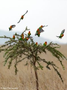 Fischer's Lovebirds are native to a small corner of east-central Africa, S and SE of Lake Victoria in N Tanzania and have low population densities outside of protected areas due to capture for the wild-caught bird trade. Photographed here in the Serengeti National Park (Tanzania) (Antero Topp)