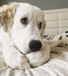Can i stay in bed Today? Its Friday! // Me puedo quedar en la cama? Es Viernes! . #dog_features #my_loving_pet #excellent_dogs #topdogphoto  #puppyeyes #greatpyrenees #showcasing_pets #bestwoof #weeklyfluff #dogsofinstagram #dogsofinstaworld #cutepetclub #sendadogphoto #lacyandpaws  #doglovers #dog #puppy  #perrosdeinstagram #dalmatian_pics  #instadog #puppiesxdogs #greatpyreneesofthehour #greatpyreneesoftheday #puppypyrenees #gigantedelospirineos #pirineo by lola.dt