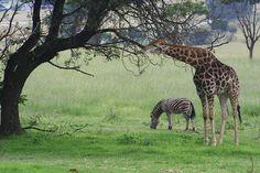 Scene with Giraffe and Zebra.