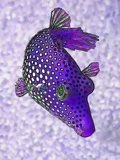 Guinea Fowl Puffer Fish In Purple. !IEC