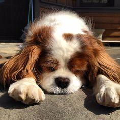 Dogwalk aftermath. #dog #dogwalk #cav #cavie #cavalier #ckcs #kingcharles #cavalierkingcharles #cavalierkingcharlesspaniel #spaniel #blenheim #kingcharlescavalier #kingcharlescavalierspaniel #katanddog