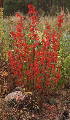 Scarlet Gilia (Ipomopsis aggregata) hardy biennial/perennial. Drought tolerant, grows in poor soil, attracts hummingbirds zone 4-11