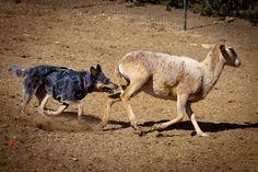 Elie the Blue Heeler herding sheep in Acton, CA