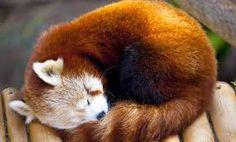 Resultado de imagen para panda rojo