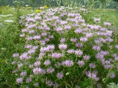 Propagating Bee Balm Plants: How To Propagate Bergamot Seeds, Cuttings And Divisions - Propagating bee balm plants is a great way to keep them in the garden year after year or to share them with others. Find out how to propagate these plants in this article.
