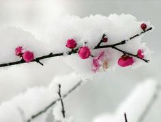 Flowers in the Snow Screensavers | The Pictures Blog of Mr. MaLao's: Flowers With Snow