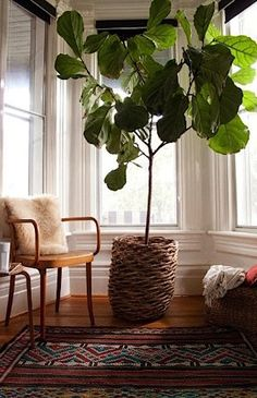 5 indoor trees to bring the outdoors in. is the Fiddle Leaf Fig Tree (Ficus lyrata) Cool Plants, Potted Plants, Big Plants, Big House Plants, Large Indoor Plants, Indoor Window Plants, Big Leaf Indoor Plant, Best Indoor Hanging Plants, Ficus