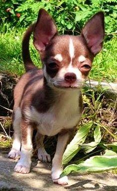 Chihuahua image via www.Facebook.com/CuteChihuahuaFans