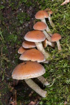 clusterpod: Hypholoma sp.  Mount Field Nationalpark, Tasmanien