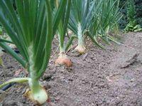 TALLER DE HUERTOS CASEROS: Como cultivar cebollas en su huerto casero