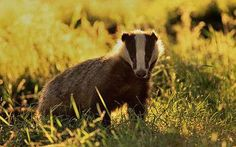 The badger cull is an ineffective waste of time, a pointless attempt to be Seen to Do Something – Telegraph Blogs