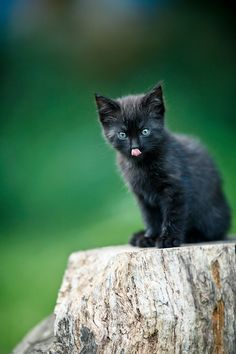 Had a black cat growing up Baby Cats, Baby Animals, Cute Animals, Mundo Animal, My Animal, I Love Cats, Cool Cats, Kittens Cutest, Cats And Kittens