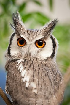 White-faced scops owl - This owl wears the same look on its face as my cat, Bitley.  Eternal annoyance...:-)  Like WTF do you want now?