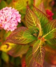 Endless summer hydrangea looks lovely even in fall. More fall garden tips: http://www.midwestliving.com/garden/featured-gardens/garden-tour-autumn-alfresco/