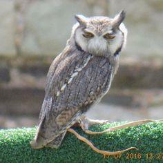 White Faced Owl #Pevensey #PevenseyCastle #festival #hot #owl #WhiteFacedOwl