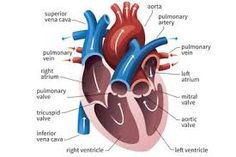 Image result for diagram of heart