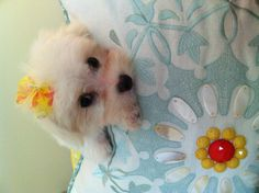 Maltese pup~ my mommy tells me I'm cute  A tip for Maltese owners, if your baby has eye tear stains stop giving them tap water use bottled or filtered water instead. We got this tip from our vet when we first got our boy Doodle.