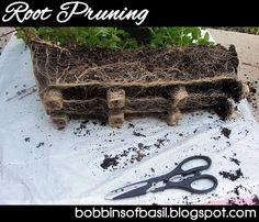 Root Pruning Herbs | Bobbins of Basil