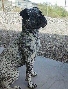 """Learn even more details on """"boxer puppies"""". Browse through our internet site. Boxer Dog Puppy, Boxer Breed, Dog Cat, White Boxer Puppies, Funny Boxer Dogs, Brindle Boxer Dogs, Reverse Brindle Boxer, White Boxers, Funny Pugs"""