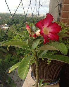 Flores da rosa do deserto em tom vermelho. #orquídea #orchids #orquídeas #succulentlove #succulents #succulent #cactus  #ervas #cacto #cactos #suculenta #suculentas #plantas #plant #plants #vasos #vasinhos #cerâmica #vasos #recife#orquídea #orchids #orquídeas #succulentlove #succulents #succulent #cactus  #ervas #cacto #cactos #suculenta #suculentas #plantas #plant #plants #vasos #vasinhos #cerâmica #vasos #recife