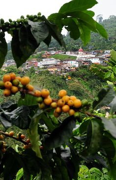 Pic by Neil Palmer (CIAT). Coffee cherries growing near the remote town of Balboa, in Colombia's coffee zone. Colombian Coffee, Colombian Food, Colombia South America, Latin America, Ecuador, Coffee Zone, Colombian Culture, Coffee Subscription, Spanish Speaking Countries