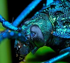 The Blue Longhorn Beetle is a Jewel of a Creature. Truth. : The Featured Creature
