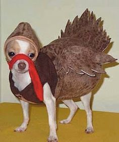 Chihuahua Turkey..